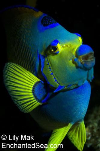 Queen Angelfish, CozumelSea Images - Cozumel