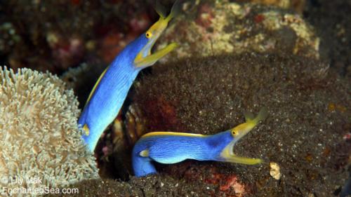 Blue Ribbon Eels 1, Bali, IndonesiaBali Underwater Image