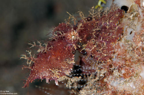 Hairy Octopus, Bali, Indonesia101203-Bali_Seraya Slope- 181