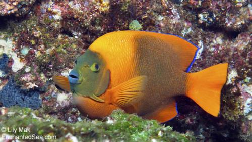 Angelfish, Socorro Islands
