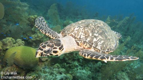 Turtle, Belize Underwater Images