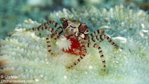 Boxer Crab with eggsUnderwater Image from Anilao, Philippines