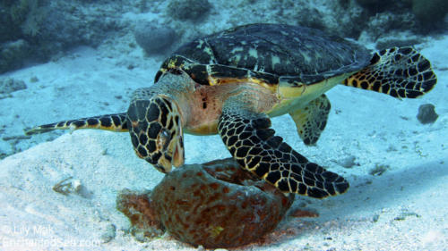 Turtle 9, Underwater Image from Grand Cayman