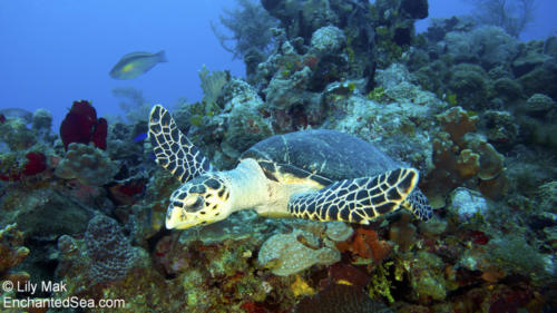 Turtle 2, Underwater Image from Grand Cayman