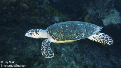 Turtle 3, Underwater Image from Grand Cayman